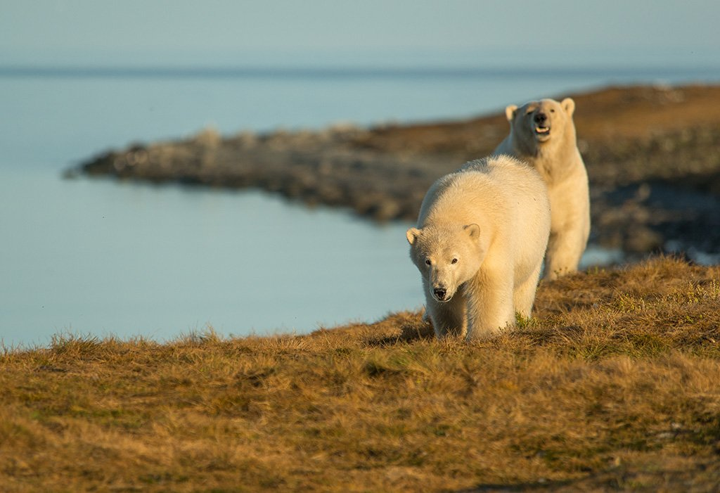 чукотка арктика море медведь белый полярный морской мыс кожевникова медведица медвежонок, Максим Деминов