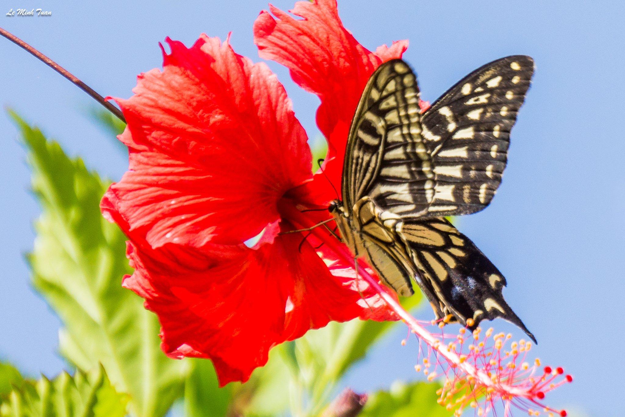 butterfly, Lê Minh Tuấn