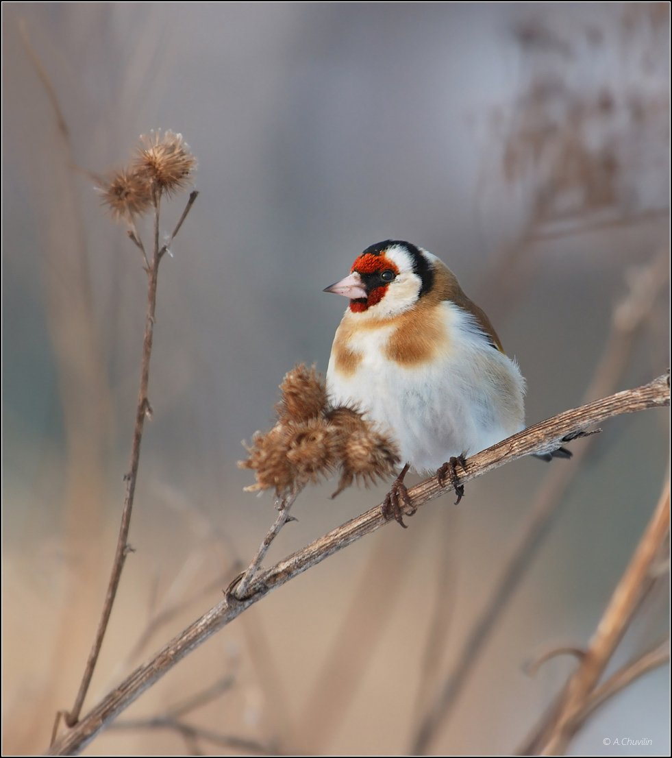 птица,щегол,захолодало, Александр Чувилин