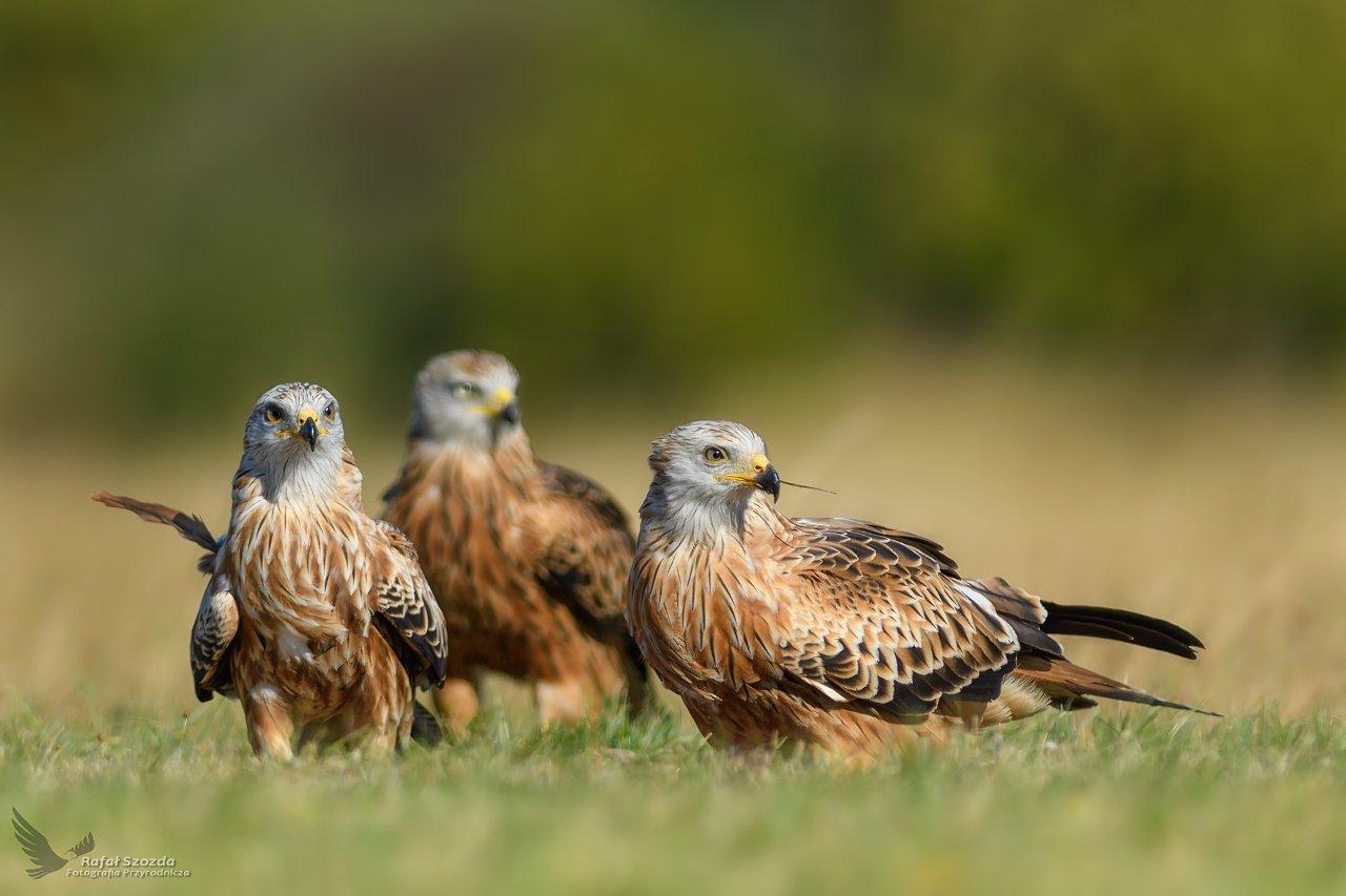 red kite, birds, nature, animals, wildlife, colors, meadow, nikon, nikkor, lens, lubuskie, poland, raptors, Rafał