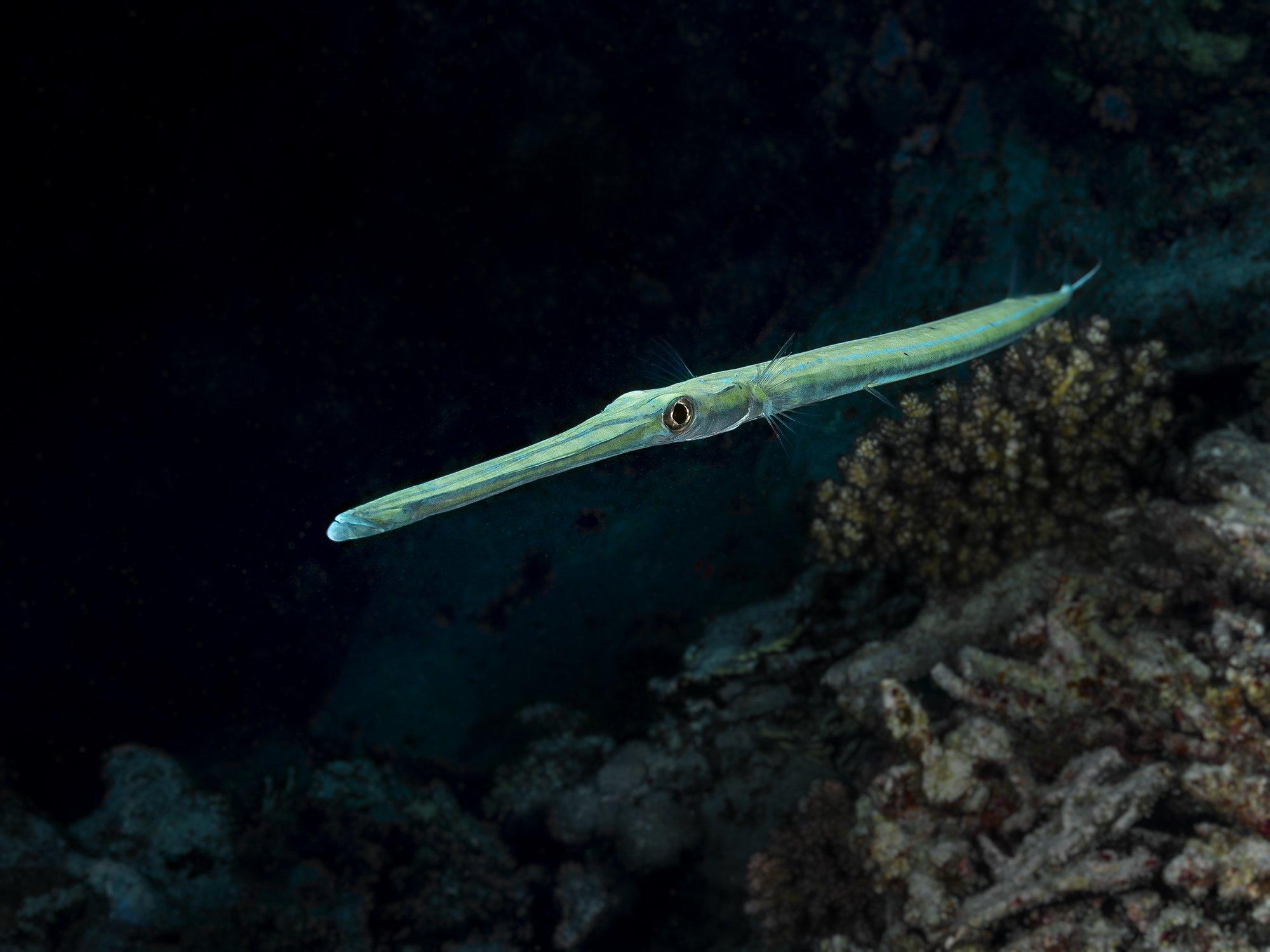 trumpet fish, Tanass