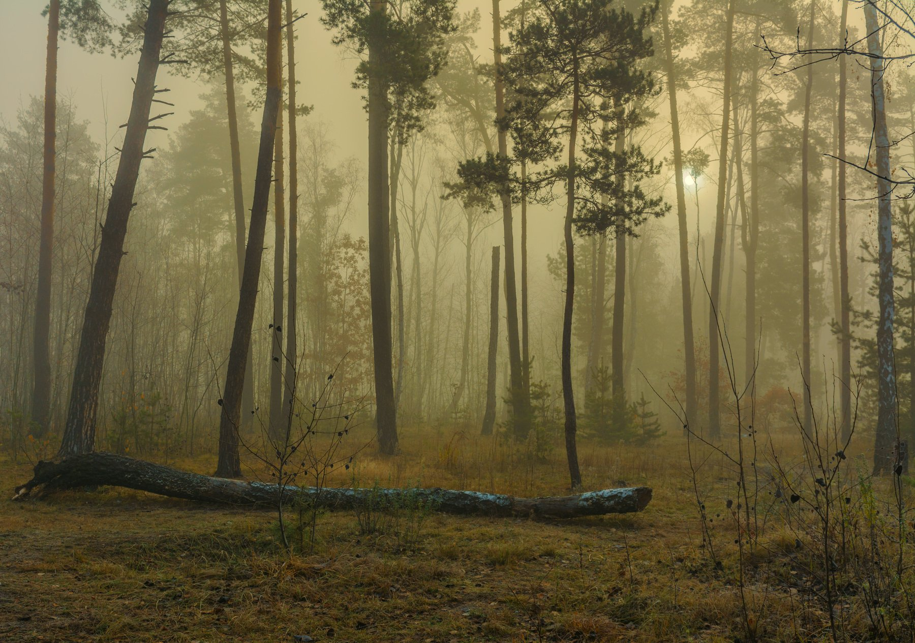 landscape, пейзаж, утро, лес, сосны, деревья, туман, утро, березы, солнце, природа, осень, Михаил MSH