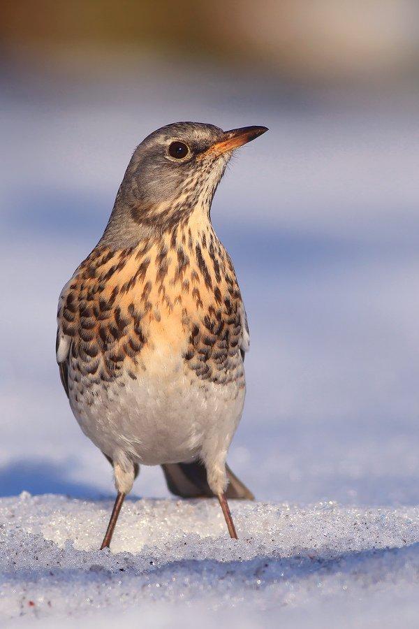 bird,wildlife,nature,afternoon,tree,color,scene,birds,wild,beauty,winter,garden,background,scenery,snow, Piotr Górny