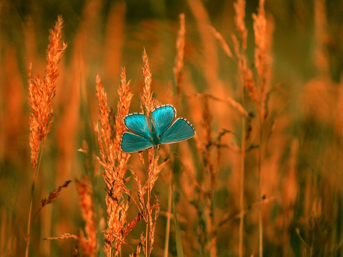 бабочка, макро, голубянка, Игорь Рябов