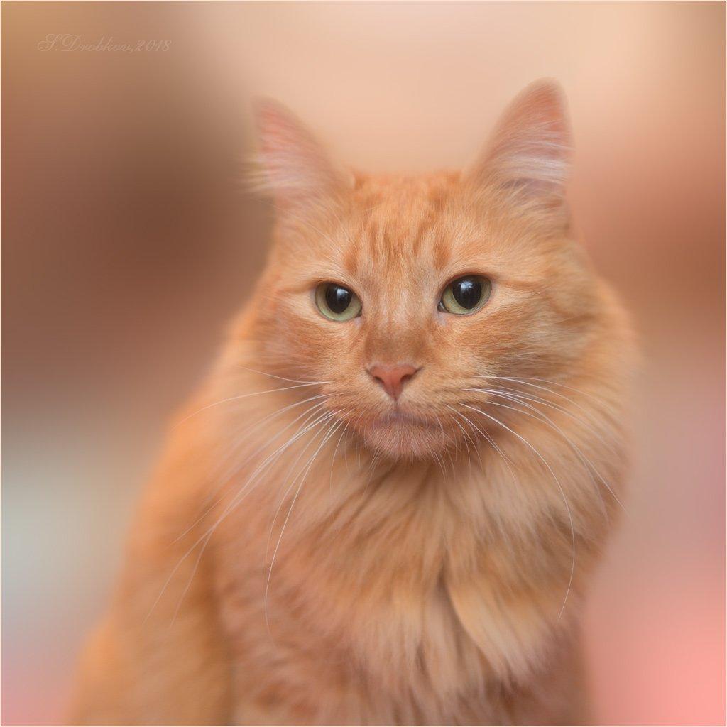 кошки, животные, портрет, Sergey Drobkov