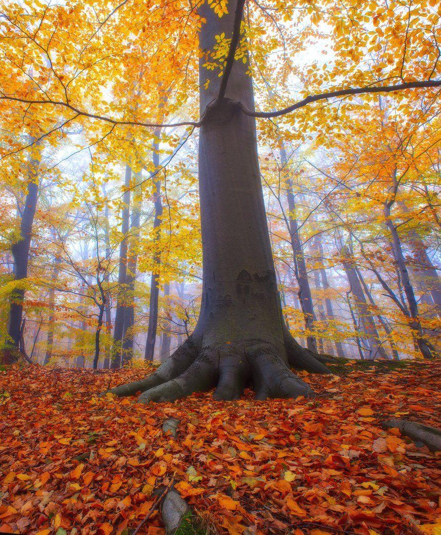 осень, лес, дерево, туман, вечер, польша, autumn, forest, tree, fog, evening, poland, Виктор Тулбанов