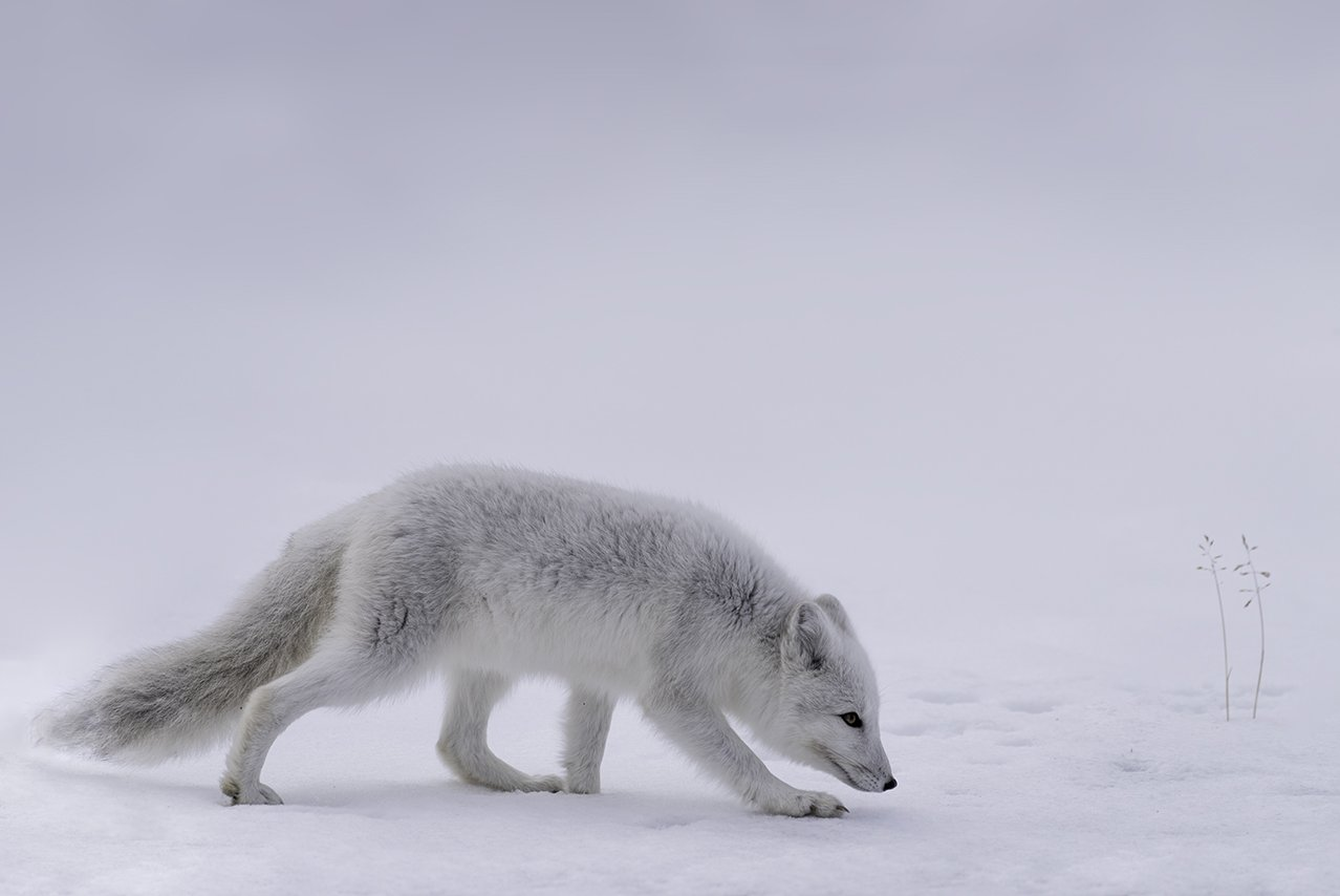 animals, arctic fox, norway, dovre, Sylwia Grabinska