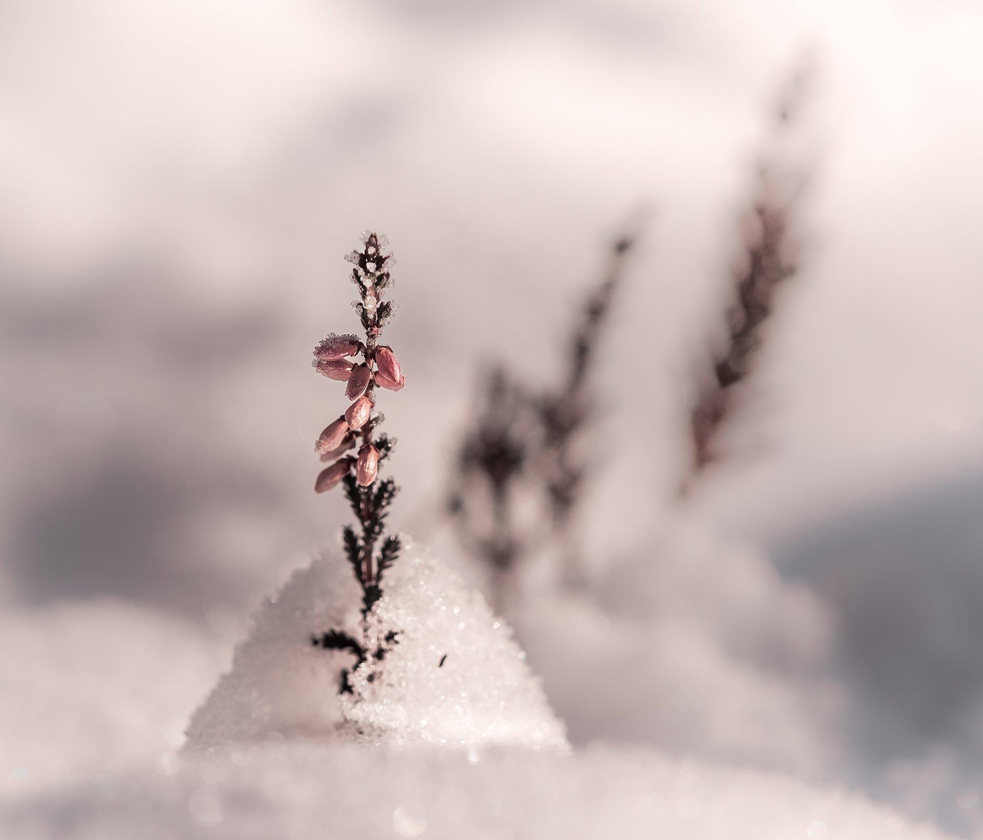 природа, макро, осень, снег, растения, цветы, эрика, Неля Рачкова