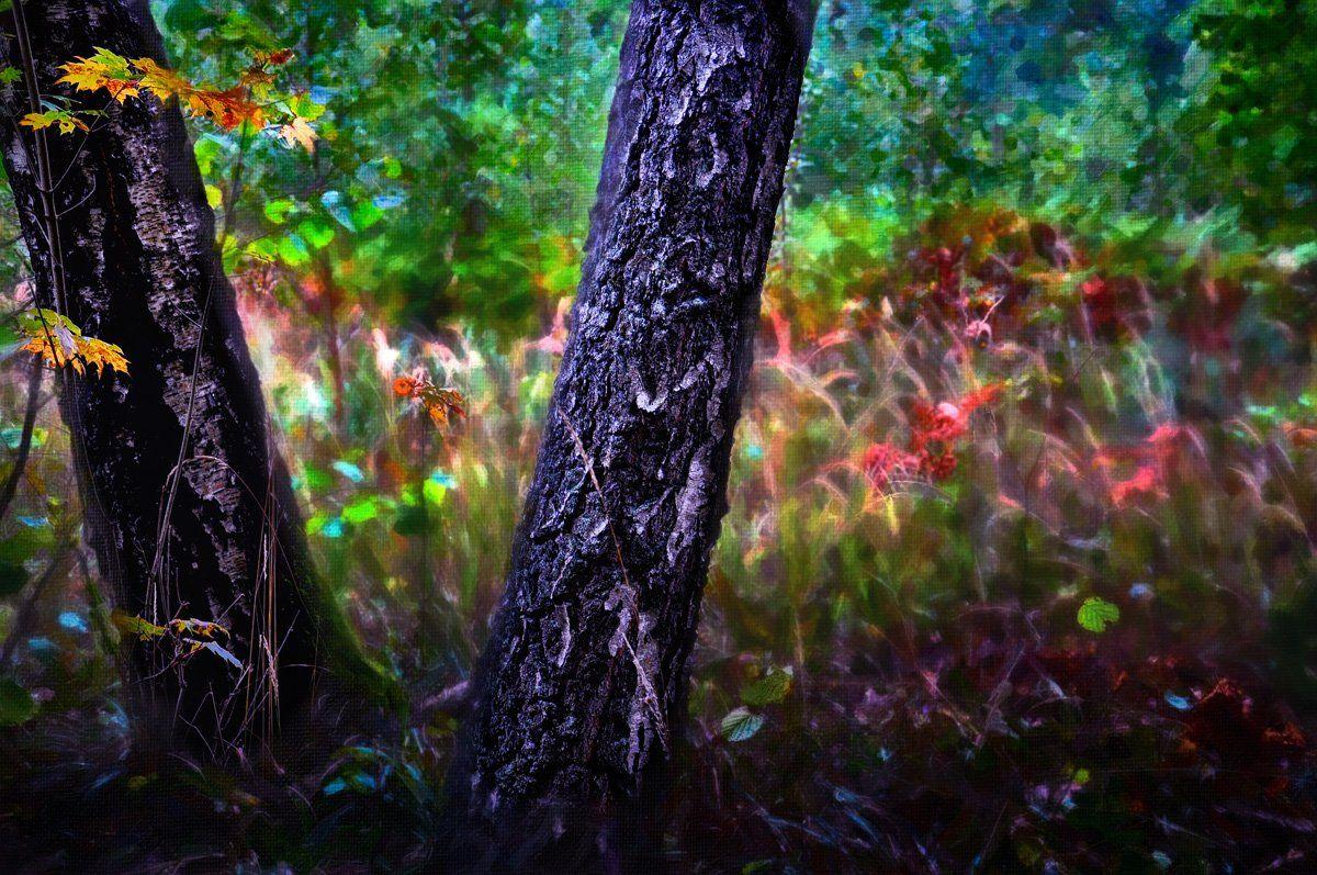 осень, березы, цвета, природа, Rimantas Petrikas