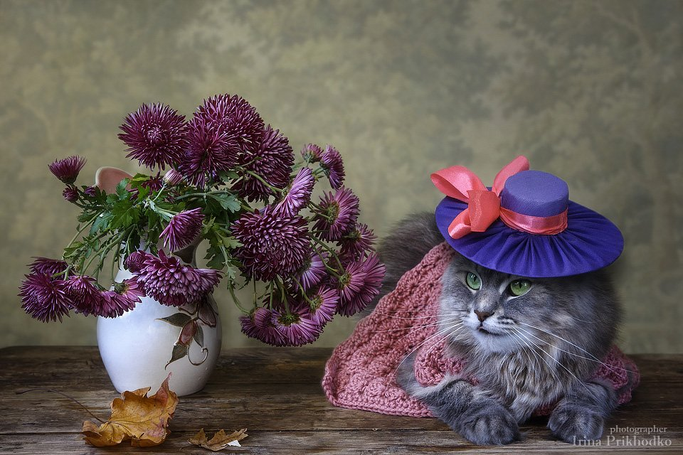 домашние животные, питомцы, кошки, кошка Масяня, шляпка, модель, котонатюрморт, букет, хризантемы, Ирина Приходько