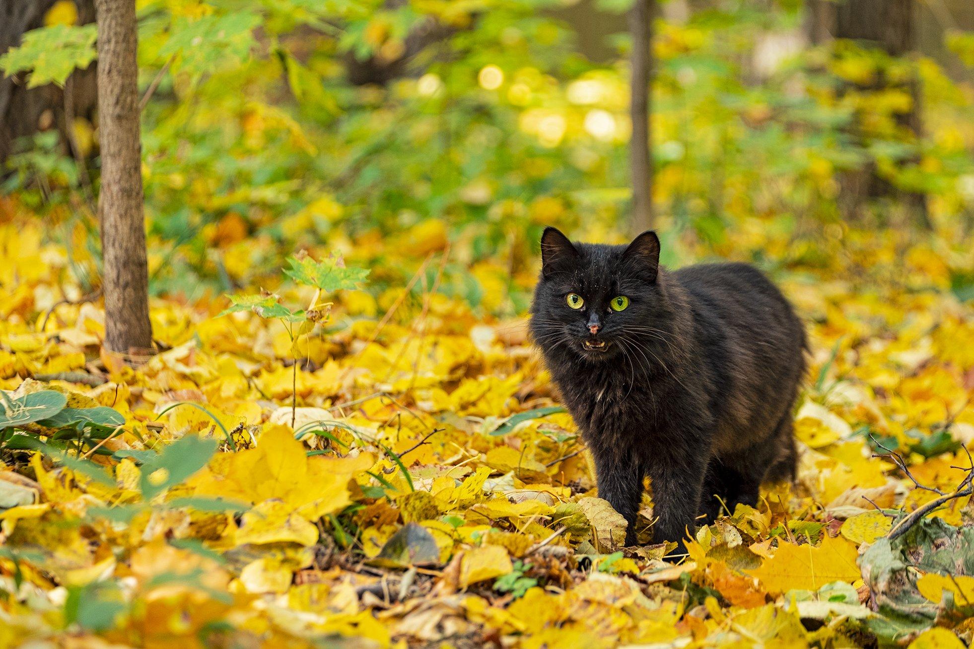 cat, fall, autumn, кот, кошка, осень, глаза, жёлтый, зелёный, yellow, green, Владимир В. Эделев