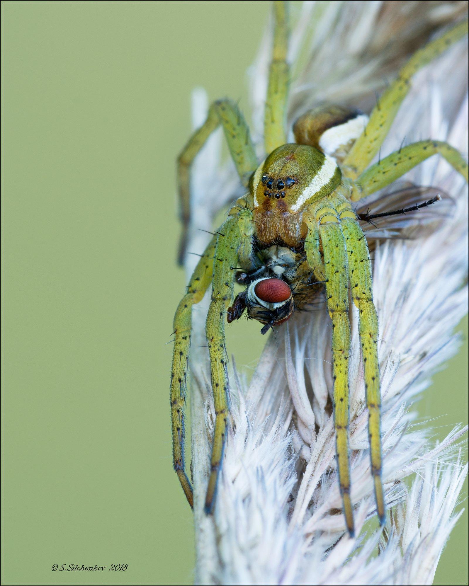 паук муха, Сергей Сильченков