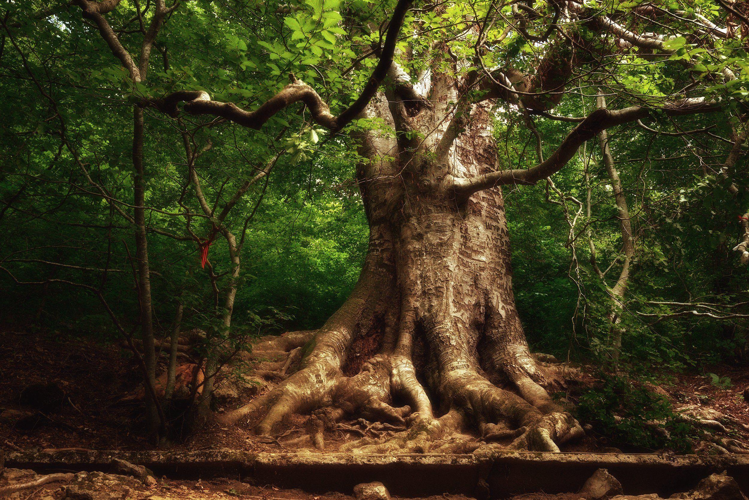 крым, лес, бук, Алексей Ник