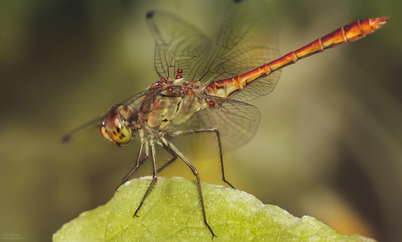 макро, природа, насекомые, паразиты, стрекоза, macro, nature, insects, parasites, dragonfly,, Тараненко Анжелика