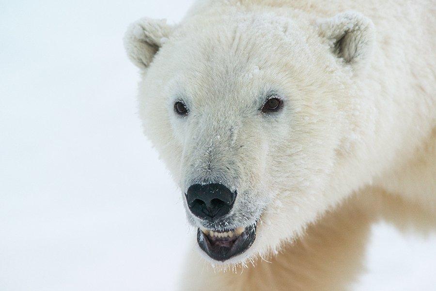чукотка арктика море медведь белый полярный морской мыс кожевникова, Максим Деминов