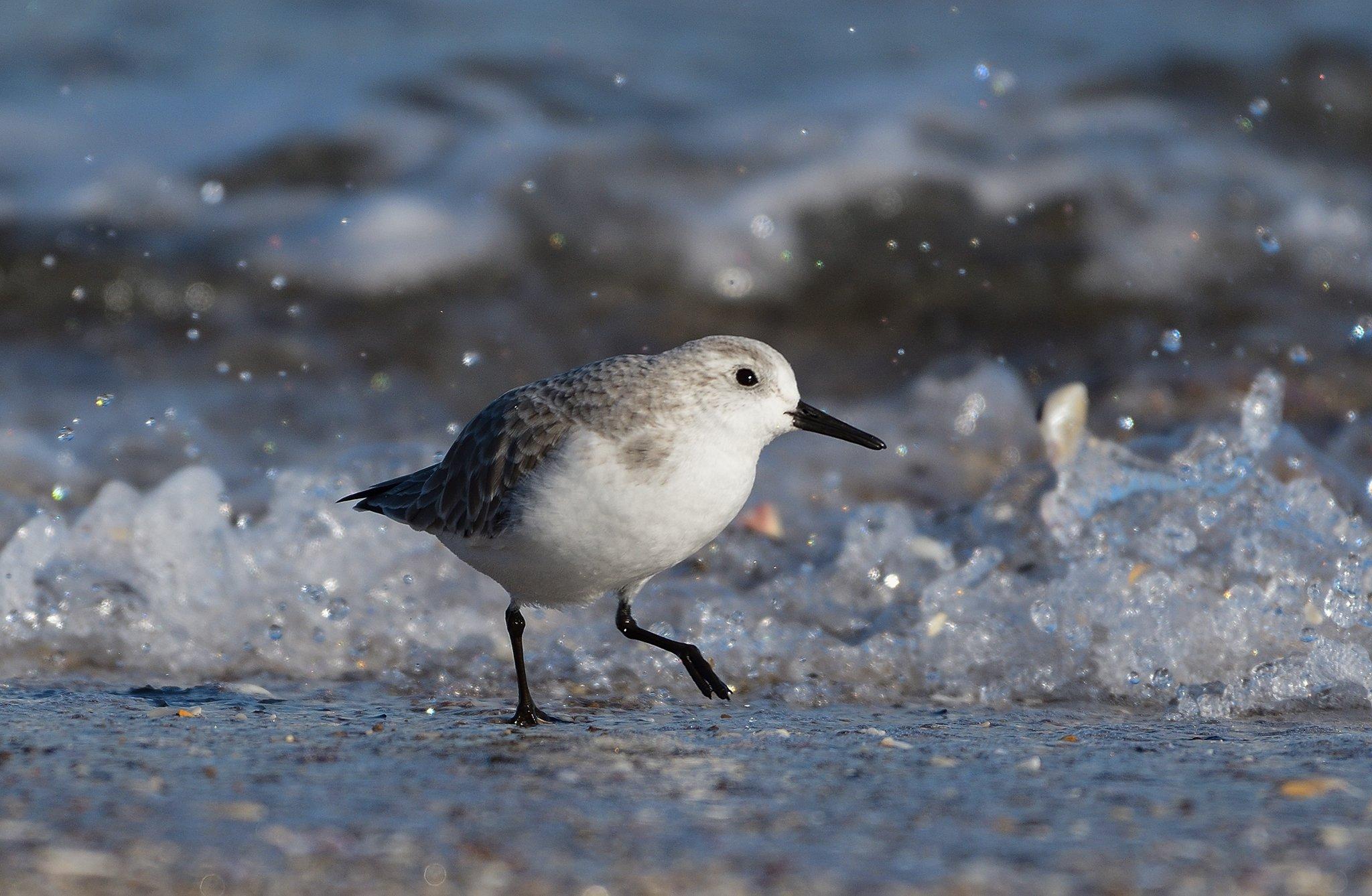 bird, birds, beach, seaside, shoreline, sea, water, animal, animals, sanderling, birdwatching, birding, Димитър Русев
