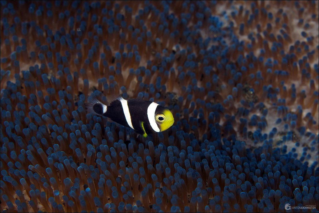 bali, indonesia, underwater, clown, fish, anemone, blue, Anton Akhmatov