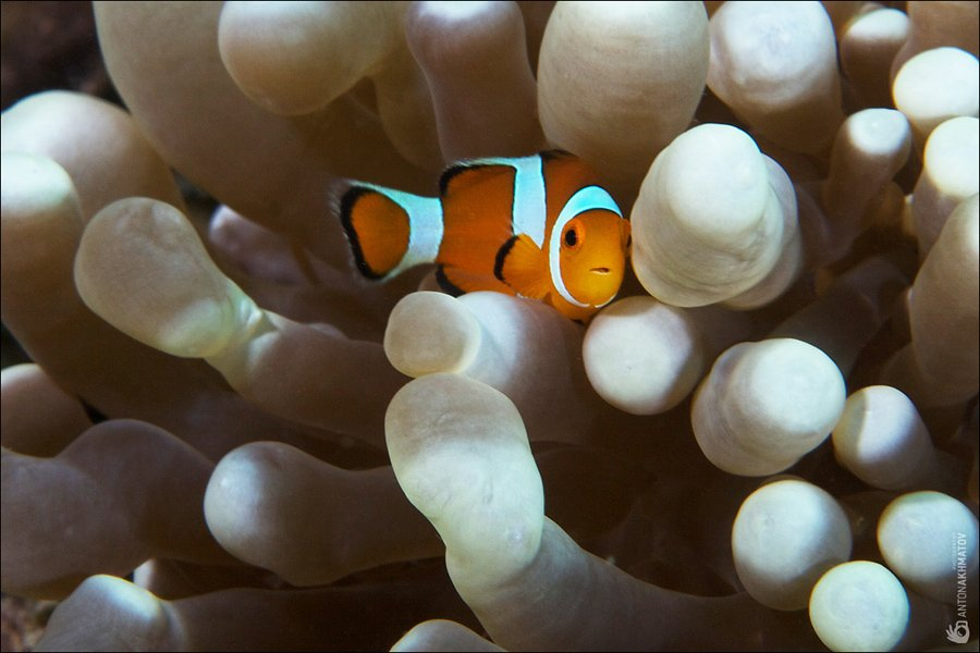 clown fish, underwater, anemone, malasia, sipadan, Anton Akhmatov
