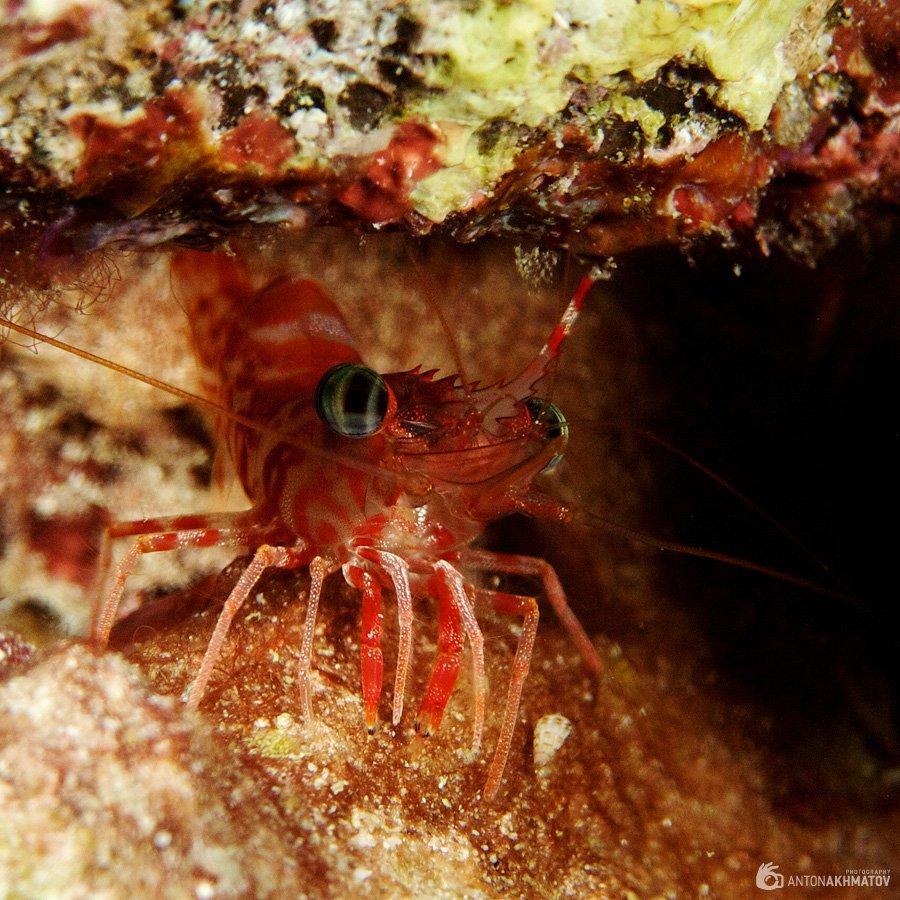 shrimp, underwater, similan islands, red, Anton Akhmatov