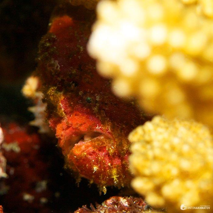 underwater, opsanus tau, fish, coral, Anton Akhmatov