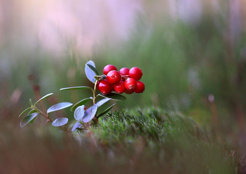 лес,болото,мох,ягода,брусника., Viktor Schneider