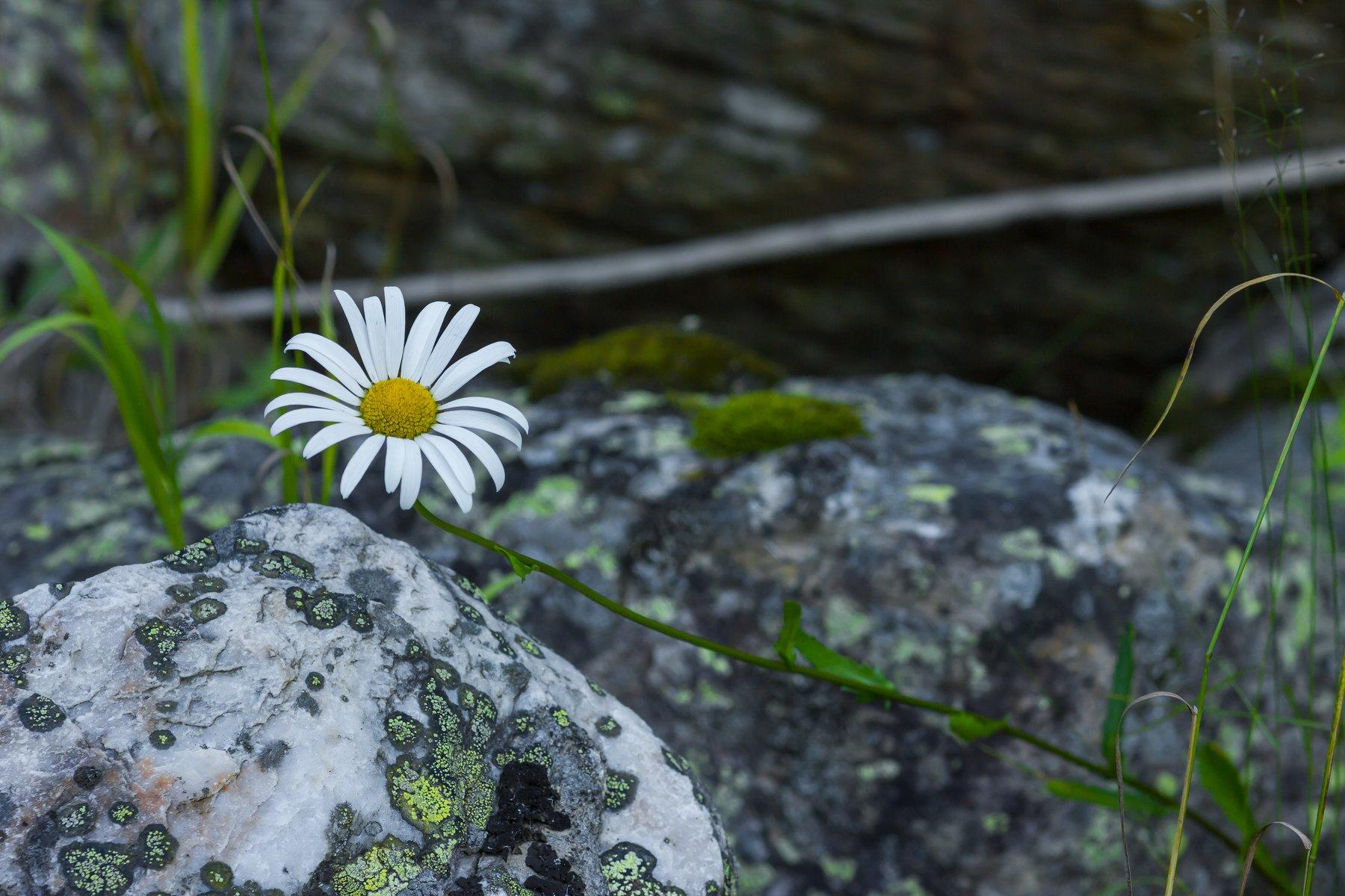 Природа, лес, растения, цветы, поповник, камни, лишайник на камне, Александр Кожухов