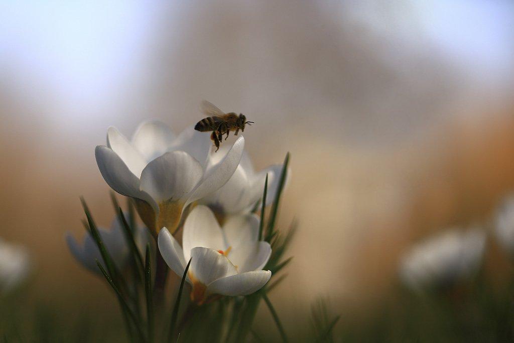 Пчелки,цветочки., Viktor Schneider
