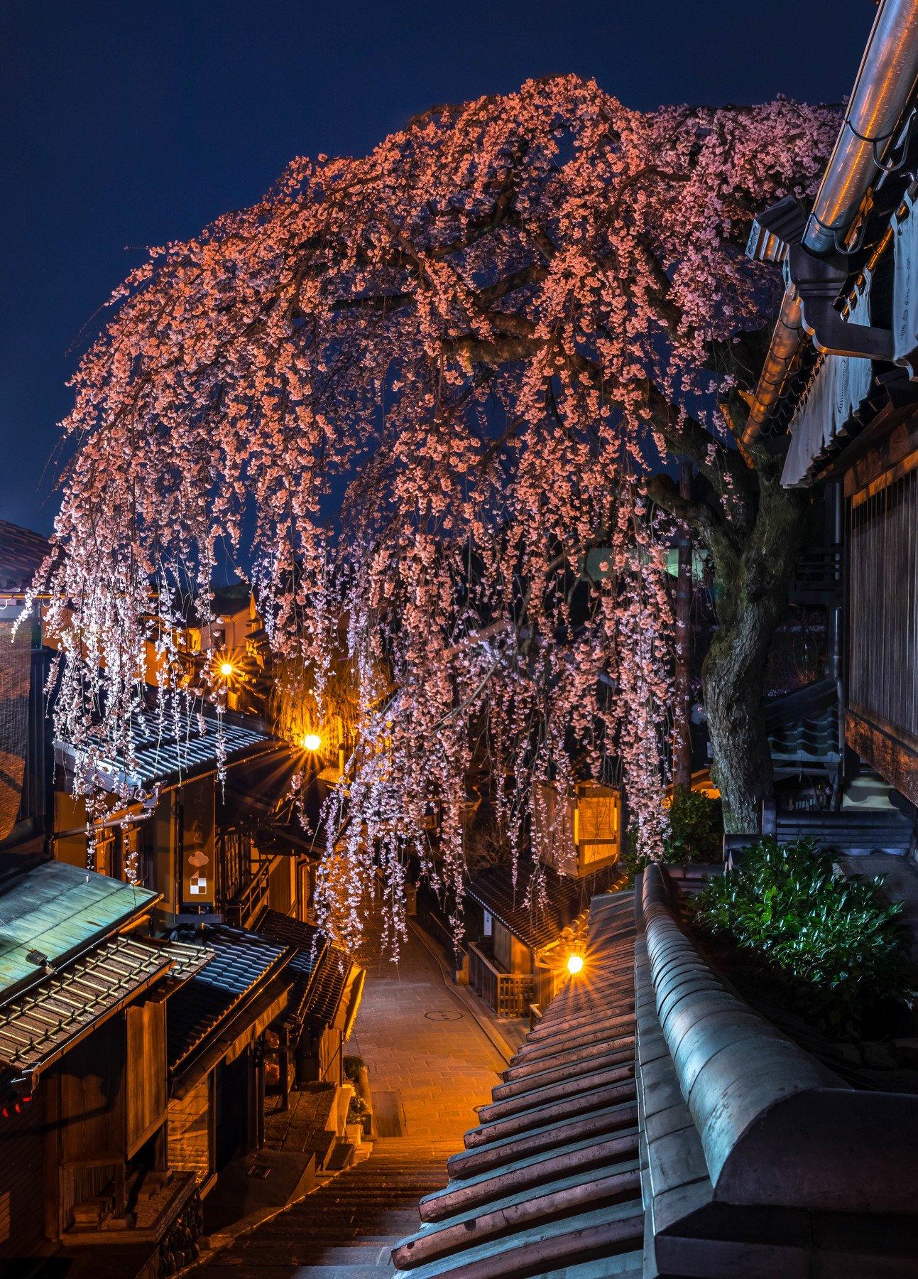 cherry blossom night sakura kyoto japan lights nightscape long exposure, Hasan Jakaria