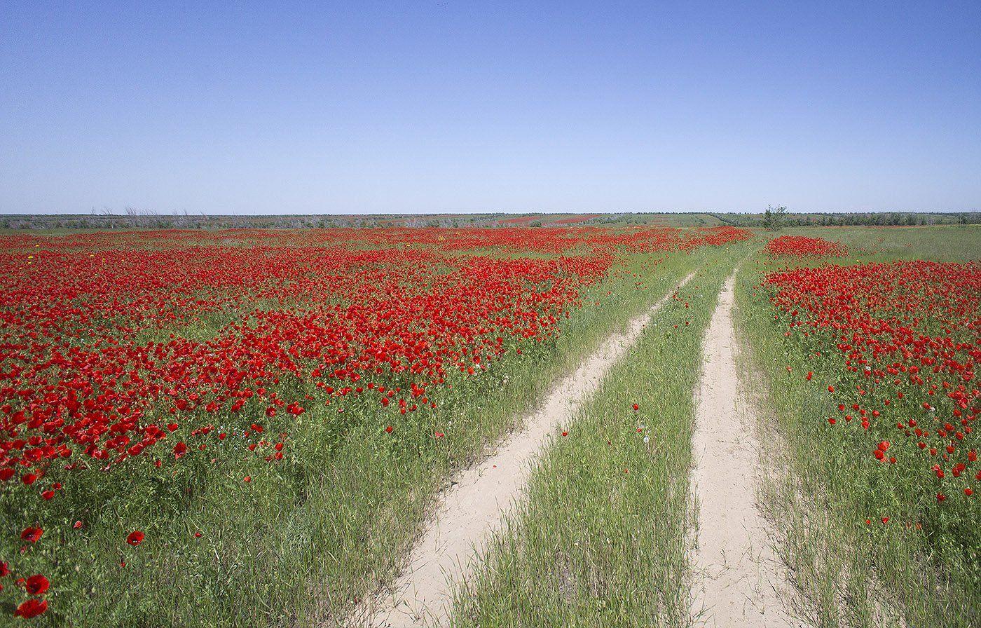 казахстан, весна, степь, маки, полевая дорога, поле, Борис Резванцев