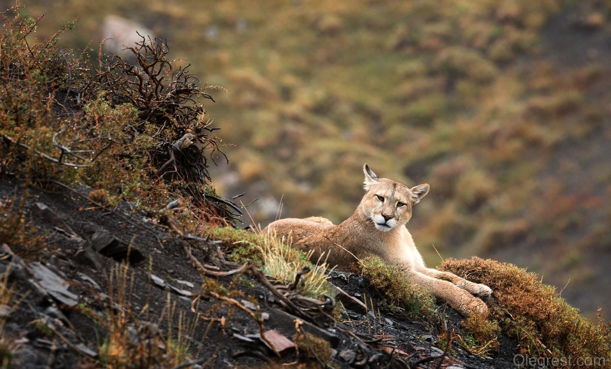 пума чили звери дикий мир животные, Rest Oleg