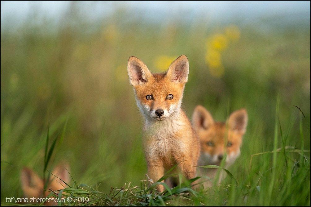 my-mriya, fox, Татьяна Жеребцова