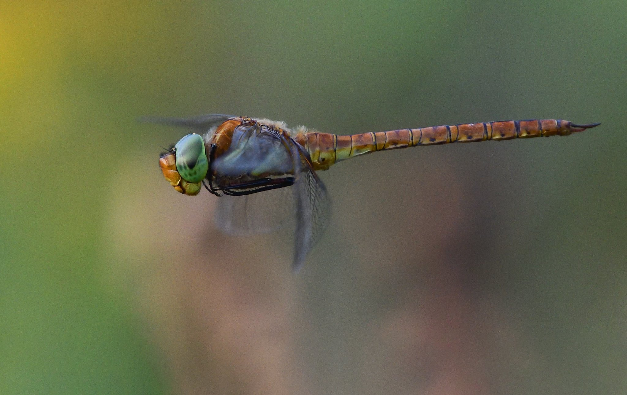 fly, insect, dragonfly, green, air, light, Димитър Русев