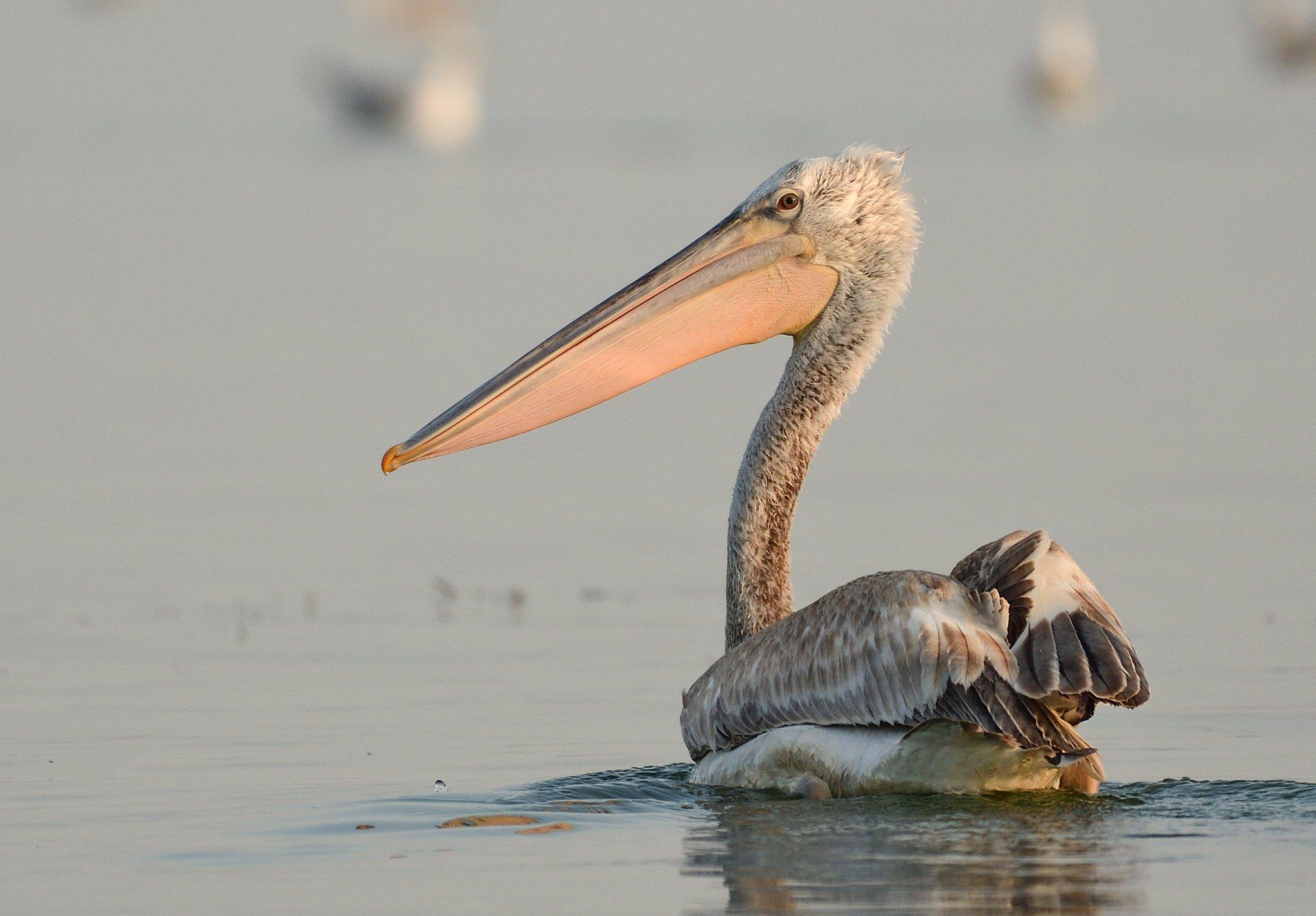 bird, birds, nature, wild, wildlife, natural, pelikan, animal, lake, water, Димитър Русев