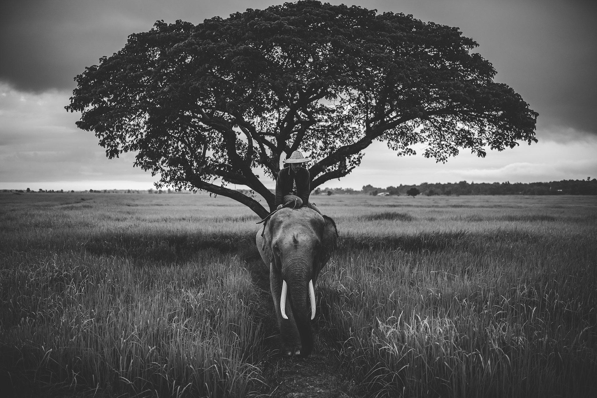 elephant,animal,Thai,Thailand,blackanndwhite,Asia,, SUTIPOND SOMNAM