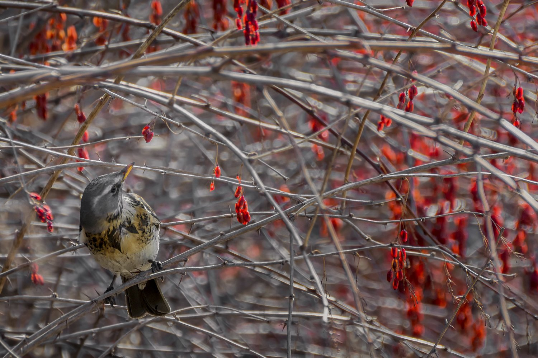 birds, птица, дрозд, барбарис, ягода, весна,, Мочалова Марина