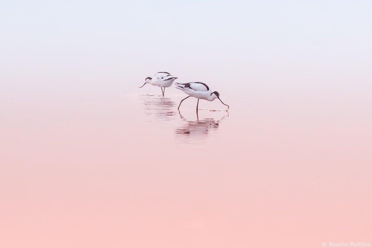 шилоклювки,птицы,животные ,птица,природа,отражение,минимализм,розовый,утро,озеро,рассвет, Рублина Наталья