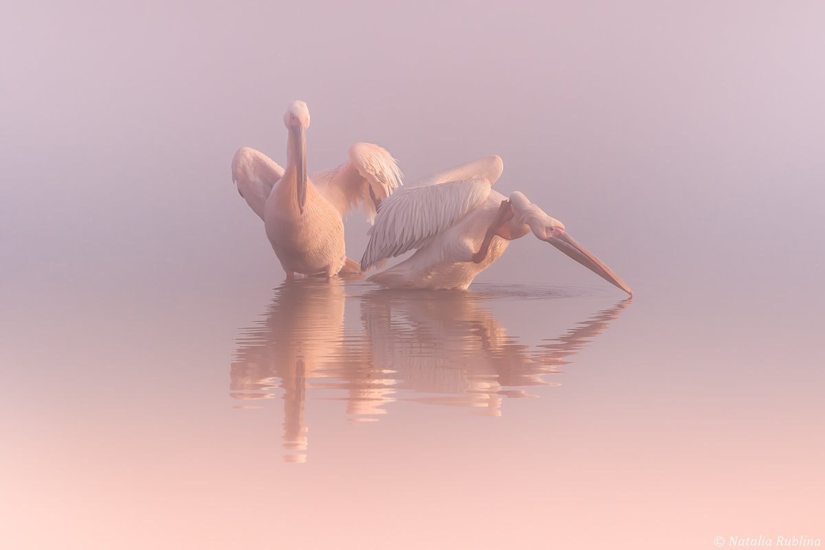 пеликаны,белые пеликаны,ангелы,птицы,животные,утро,туман,минимализм,умиротворение,природа,пеликан,отражения,тишина, Рублина Наталья