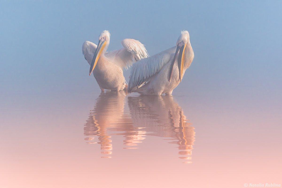 пеликаны,природа,птицы,животные,утро,озеро,отражения,друзья,ангелы, Рублина Наталья