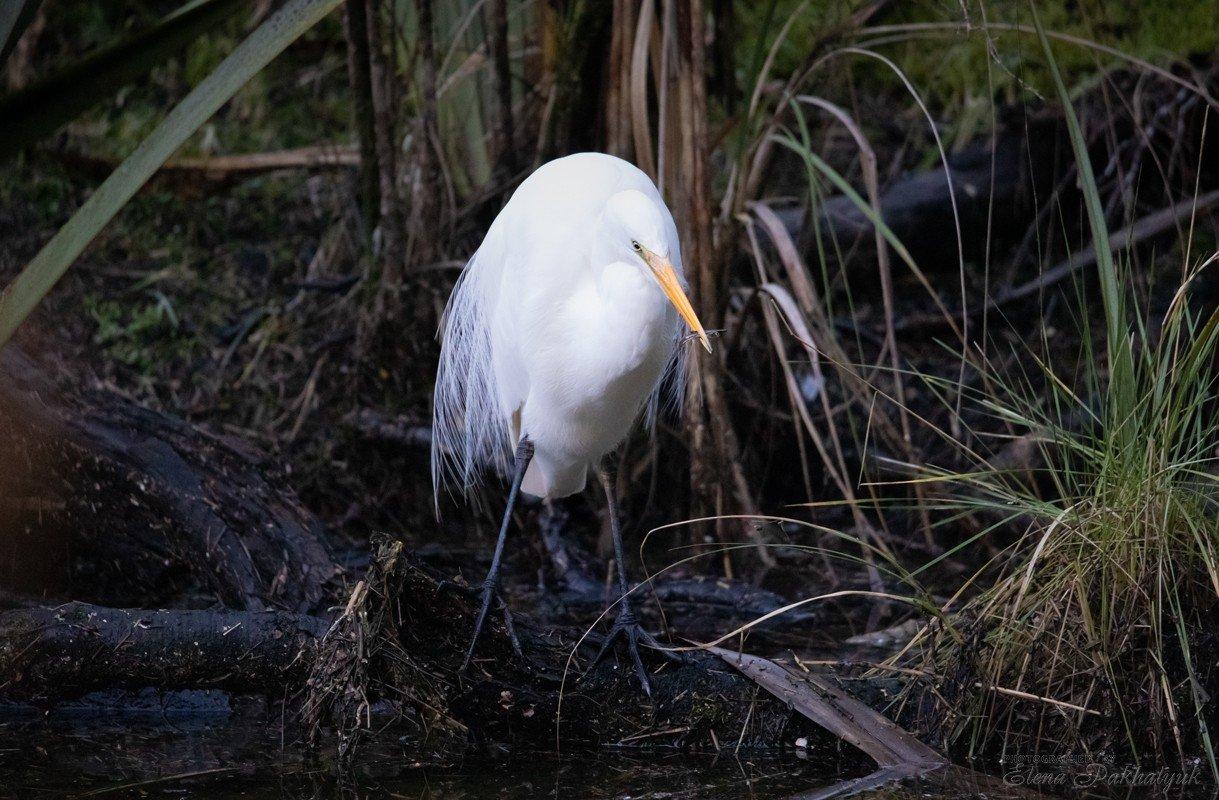 природа,новая зеландия,белая цапля,цапля,птицы,животные,фототур,бердвочинг, Elena Pakhalyuk