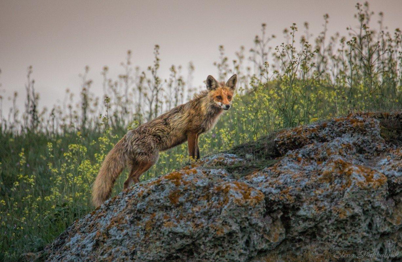 лиса,животные,крым,россия,природа, степь,весна,фототур, Elena Pakhalyuk