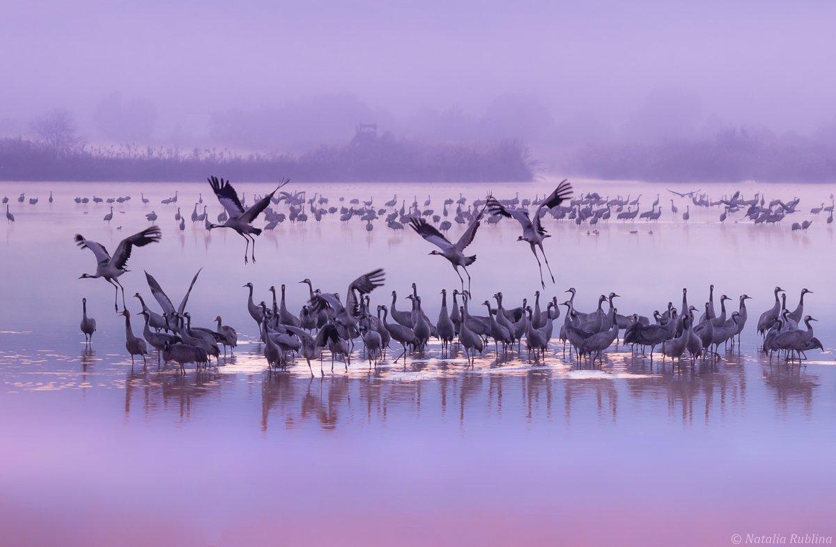 природа,птицы,животные,журавли,рассвет,утро,туман,стая птиц,магия природы,озеро, Рублина Наталья