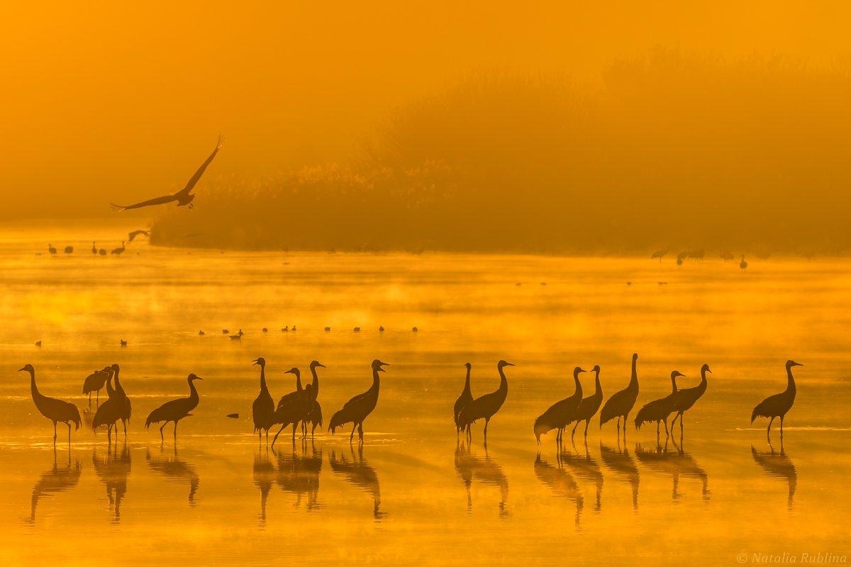 природа,птицы,животные,журавли,рассвет,утро,туман,отражения,стая птиц,магия природы,золотой туман, Рублина Наталья