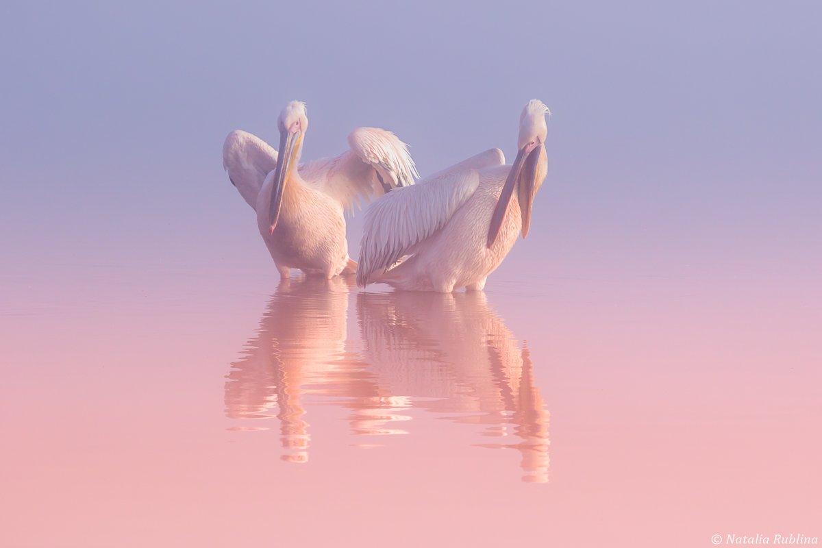 пеликаны,белые пеликаны,птицы,животные,минимализм,природа, Рублина Наталья