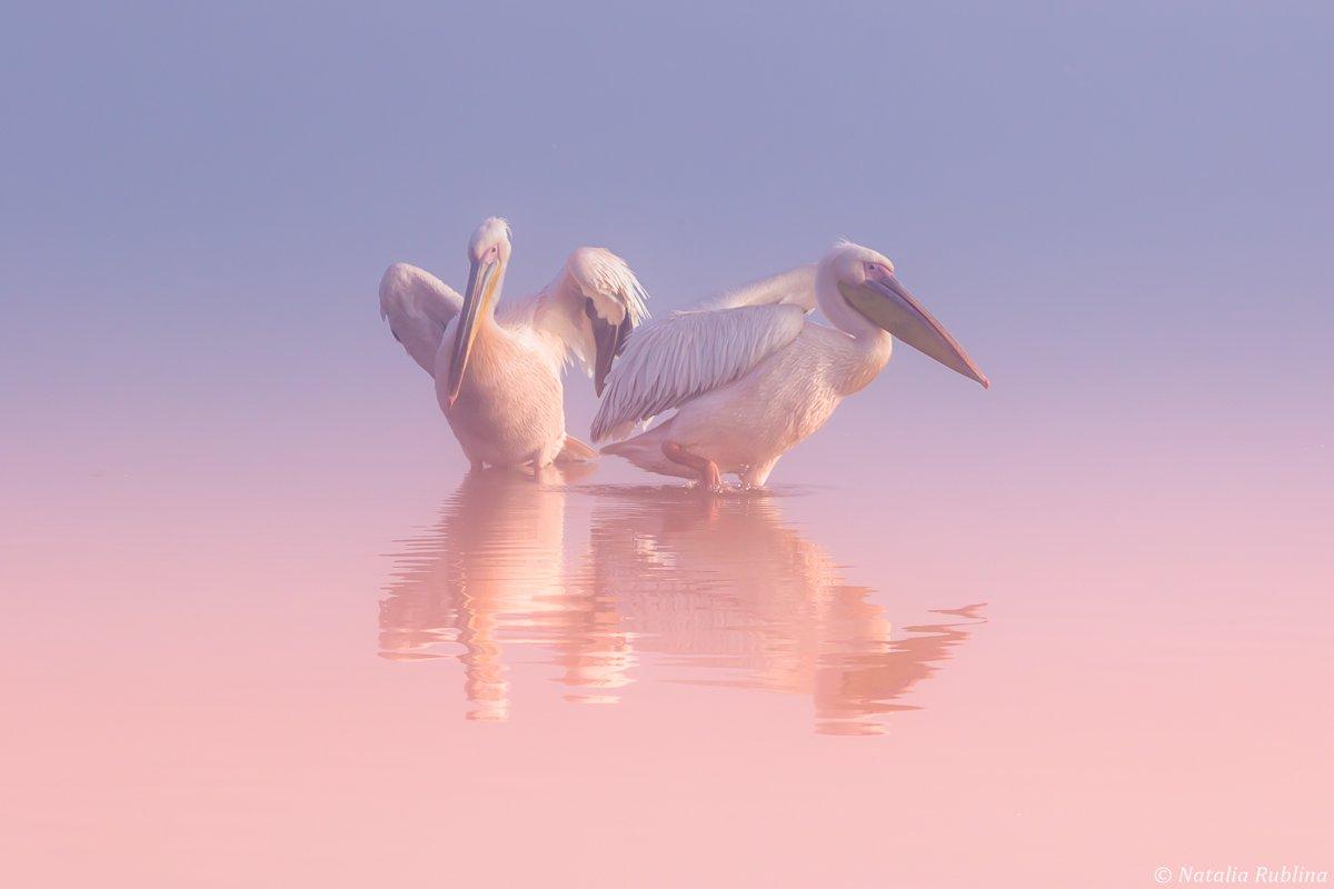 пеликаны,белые пеликаны,ангелы,птицы,животные,утро,минимализм,умиротворение,природа, Рублина Наталья