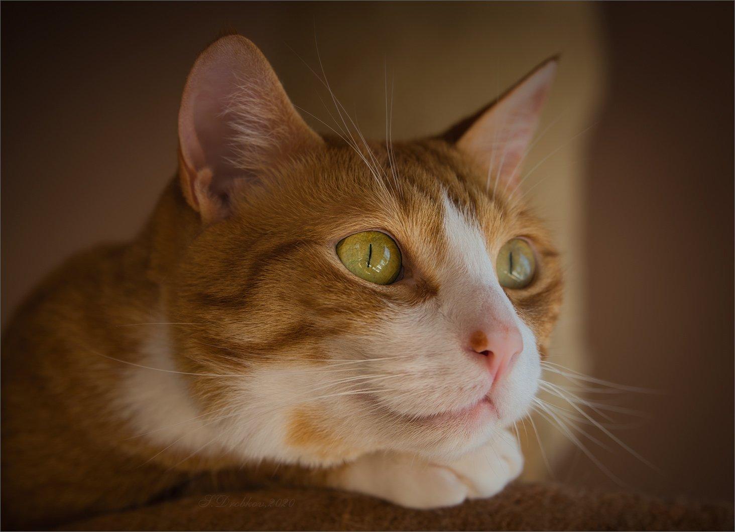 кошки, портрет, Sergey Drobkov