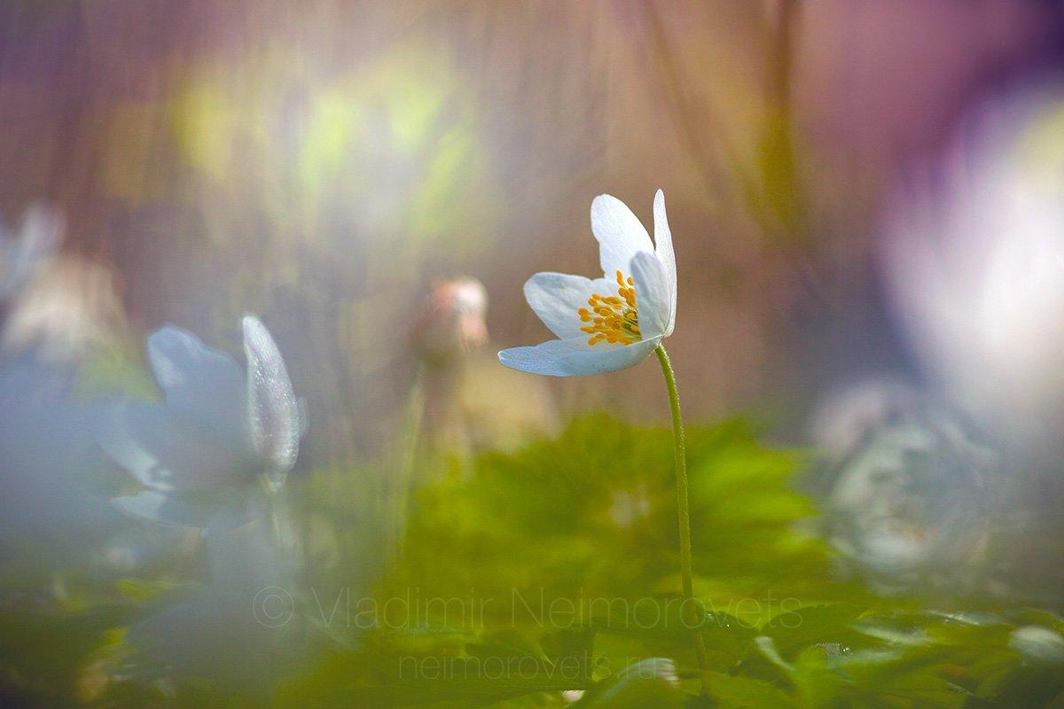 wood anemone, windflower, thimbleweed, smell fox, white, yellow, green, blossom, flower, plant, spring, morning, Russia, Leningrad Region, Gatchina district,, Владимир Нейморовец