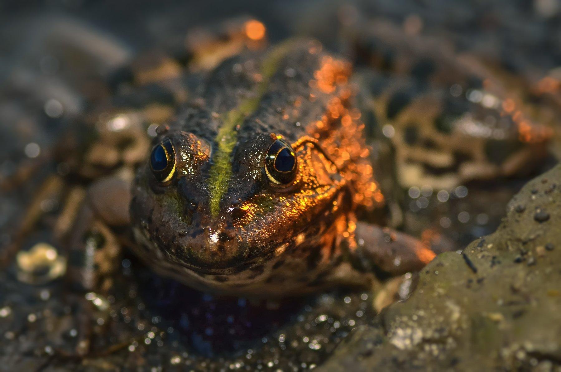 лягушка,жаба,взгляд,река,природа,прыжок,зелёная, Володин Владимир