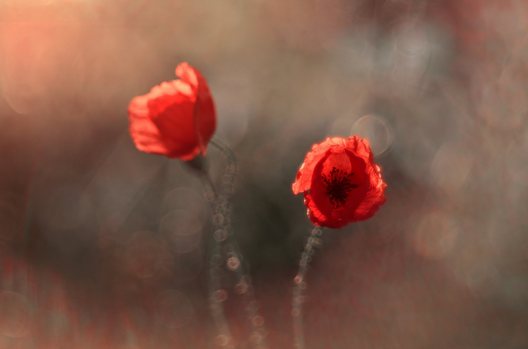 природа, пробуждение, цветы, свежесть, волшебство, мак, маки, свет,, Draw Эля