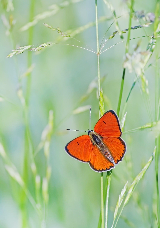 Бабочка, Червонец непарный, Чепленко Алексей