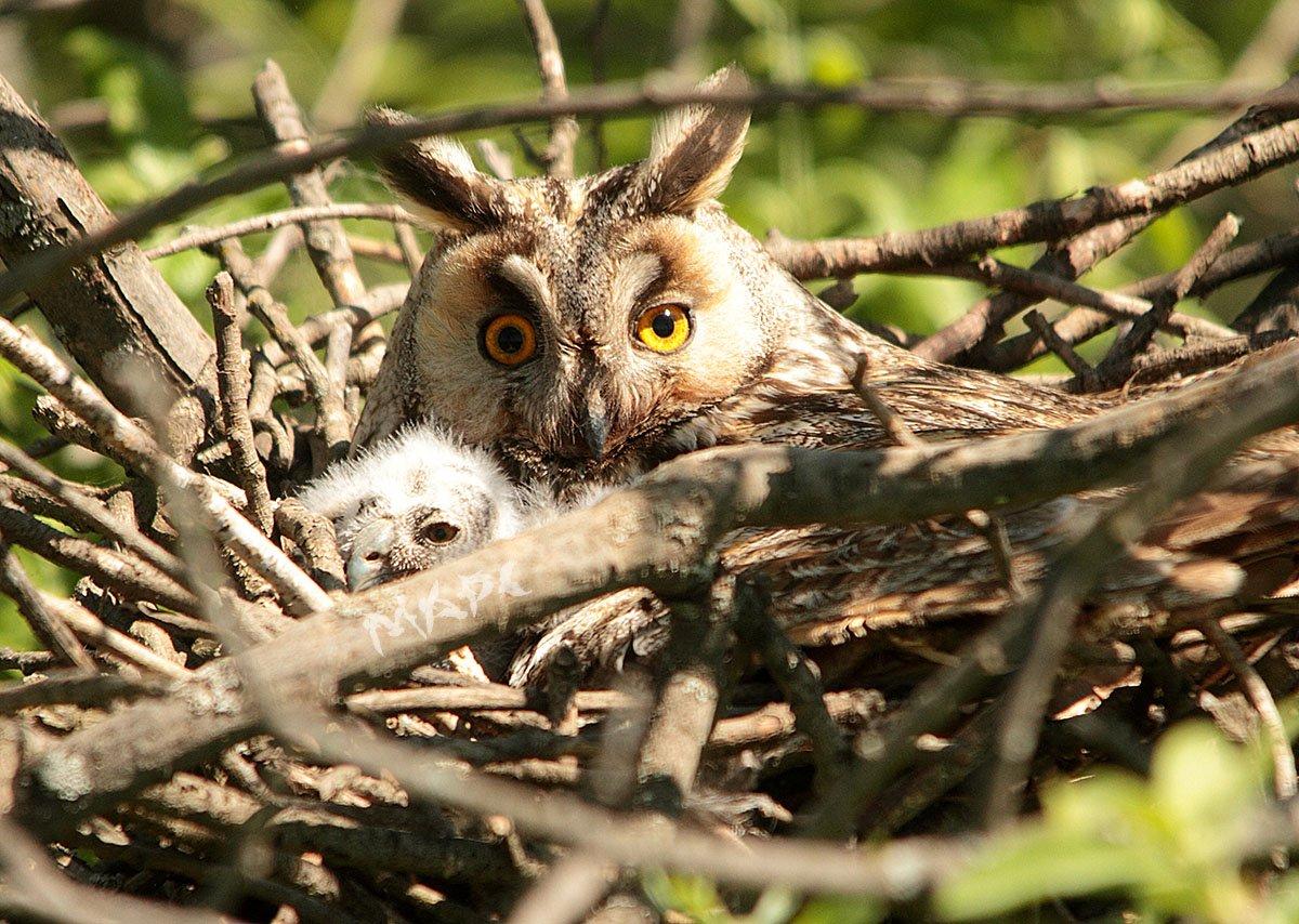 животные птицы весна ушастая сова совенок, Шангареев Марс